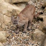 Puma auf dem Felsen-Ducken betriebsbereit sich zu stürzen Stockfotografie