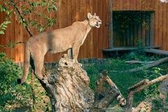 Puma auf einem Baumstumpf Lizenzfreies Stockbild