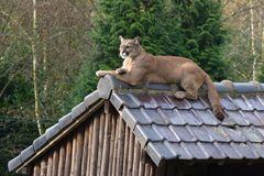 Puma auf einem Dach Lizenzfreies Stockfoto
