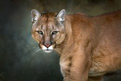Puma beautiful portrait. Puma, cougar portrait on black background royalty free stock image