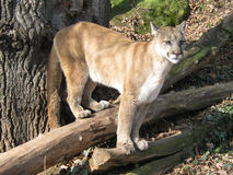 Puma. Beautiful young puma on branch Stock Images