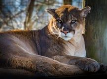 Puma bello di rilassamento che guarda avanti vicino su Fotografia Stock Libera da Diritti