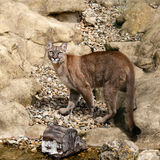 Puma Camouflaged on Rocks Looking Up Stock Image
