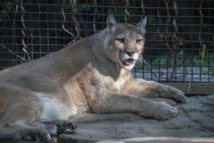 Puma casual Foto de archivo