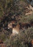 Puma che cammina fra i cespugli del deserto immagine stock libera da diritti
