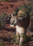 Puma che cammina fra i cespugli del deserto Fotografia Stock