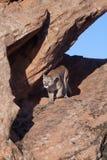 Puma che cammina lungo il bordo dell'arenaria verso la macchina fotografica alla luce di mattina fotografie stock