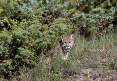 Puma che esce dalla spazzola Fotografia Stock Libera da Diritti