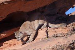 Puma che fa un passo nel sole di mattina Fotografia Stock Libera da Diritti