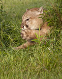 Puma che lecca le sue zampe Fotografie Stock Libere da Diritti