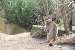 Puma cileno fotografia stock libera da diritti
