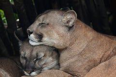 Puma cileno & x28; Concolor& x29 del puma; fotografia stock libera da diritti