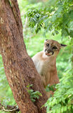 Puma climbing on tree Stock Images