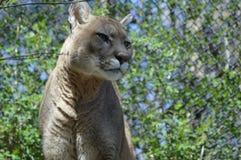 Puma Royalty Free Stock Image