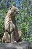 Puma Royalty Free Stock Photo