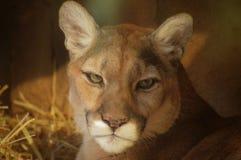 Puma. Close up of a puma Royalty Free Stock Image