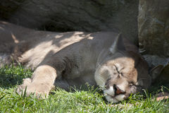 Puma concolor Royalty Free Stock Images