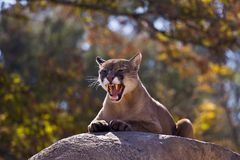 Puma Concolor (Cougar) I Stock Photos