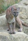 Puma (concolor de puma) photos stock