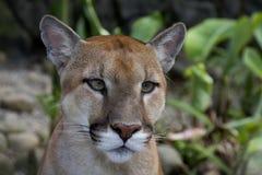Puma (concolor del Felis) fotos de archivo