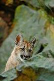 Puma, concolor del puma, animal ocultado del peligro del retrato con la piedra, los E.E.U.U. Foto de archivo