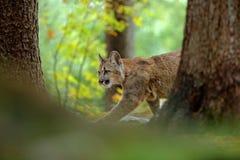 Puma, concolor del puma, en el hábitat del bosque de la naturaleza de la roca, entre dos árboles, animal ocultado del peligro del Imagenes de archivo