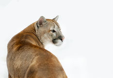 Puma concolor in front of a white background Stock Image