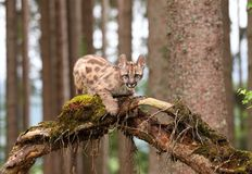 Puma concolor, kitten Royalty Free Stock Photography
