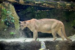 Puma Concolor Royalty Free Stock Photo