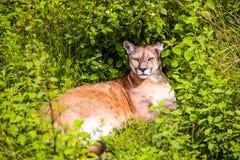 Puma Concolor o león de montaña Imágenes de archivo libres de regalías