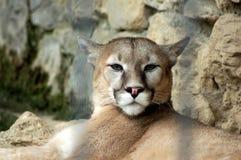 Puma - Puma concolor - Park Le Cornelle Wildlife lizenzfreie stockfotografie