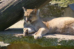 Puma, cougar. Royalty Free Stock Images