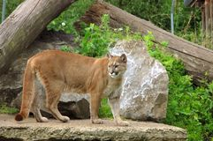Puma, cougar. Royalty Free Stock Photos