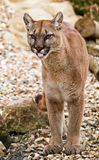 Puma cougar mountain lion Stock Photo