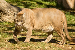 Puma, Cougar or Mountain Lion Royalty Free Stock Images