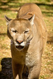 Puma, Cougar or Mountain Lion Stock Photography
