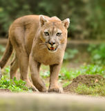 Cougar. A puma, cougar or mountain lion walking around Royalty Free Stock Photo