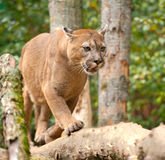 Cougar. A puma, cougar or mountain lion walking around stock photography