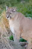 Puma or Cougar in Patagonia royalty free stock image