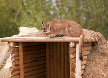 Puma crouching on shelter roof Stock Images