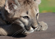 Puma Cub Fotografia Stock Libera da Diritti