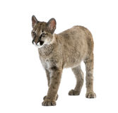 Puma cub in front of a white background Royalty Free Stock Photos