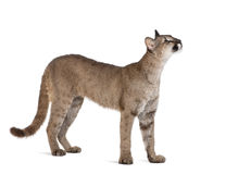Puma cub in front of a white background. Puma cub, Puma concolor, 1 year old, standing and looking up against white background, studio shot royalty free stock photo