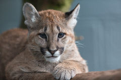 Puma Cub Royalty Free Stock Photos