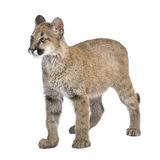 Puma cub - Puma concolor (3,5 months) Stock Photos