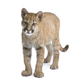 Puma cub - Puma concolor (3,5 months) Royalty Free Stock Photo
