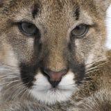 Puma cub - Puma concolor (3,5 months) Stock Photo