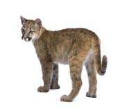 Puma cub - Puma concolor (3,5 months) Stock Photography