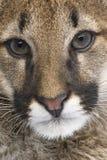 Puma cub - Puma concolor (3,5 months) Royalty Free Stock Images