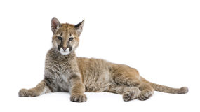 Puma cub - Puma concolor (3,5 months) Royalty Free Stock Photos